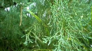 eel Ferns on on old pine tree.AVI