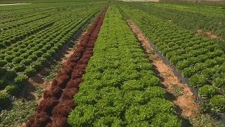 Нехватка салата латука в ЕС продолжится до конца марта (новости)