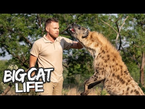 How Hyenas Are Trained For Movies   BIG CAT LIFE