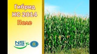 Гибрид НС 2014. ФАО 260. Поле сербской кукурузы.