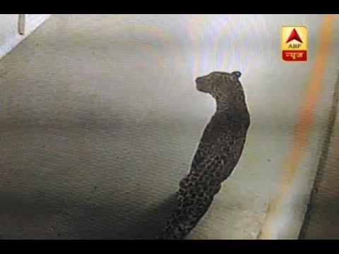 Gurugram: Leopard enters Maruti Suzuki's Manesar plant late at night