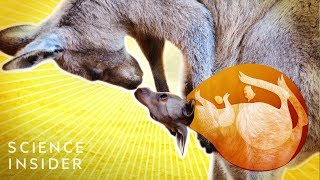 Whats Inside A Kangaroos Pouch?