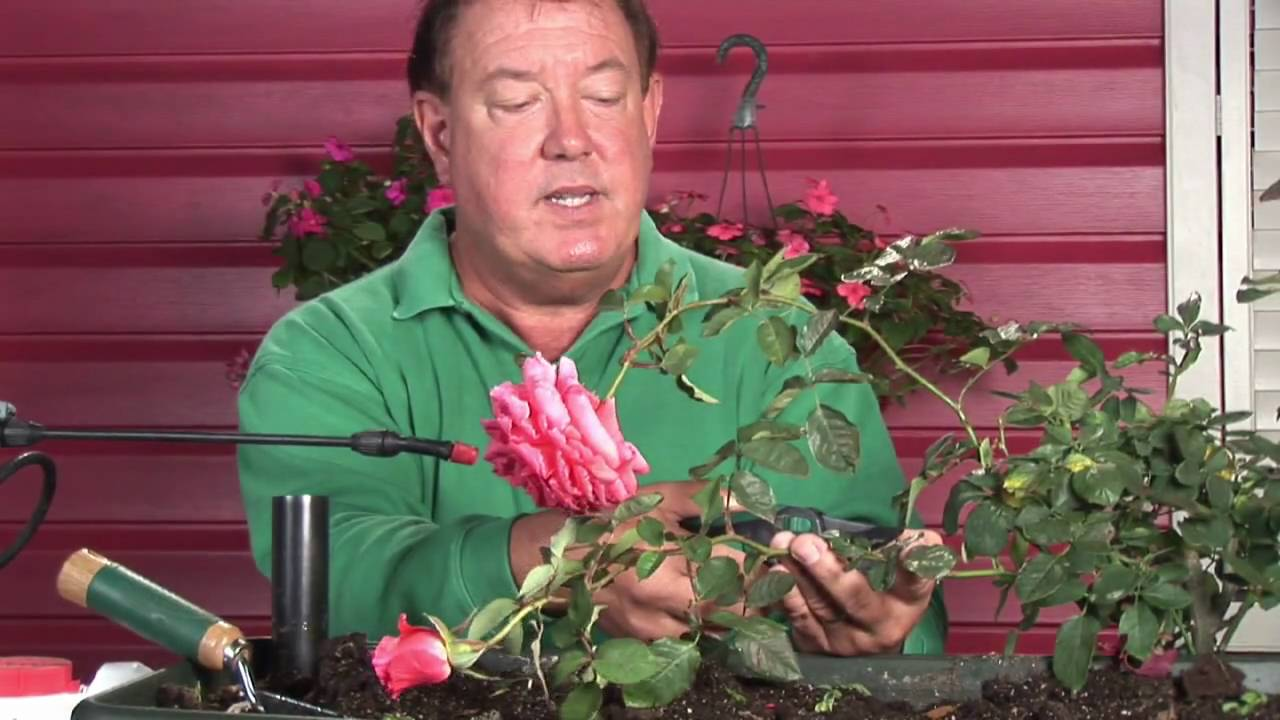 Growing roses how to revive droopy headed roses youtube growing roses how to revive droopy headed roses reviewsmspy