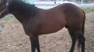 caballo de zacualpan nayarit