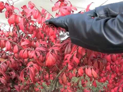 Prunethis How To Prune Colorful Shrubs Like Burning Bush