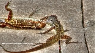 Crested Anole Lizard Fight