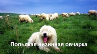 Порода собак.Часть 1.Самые редкие собаки в мире