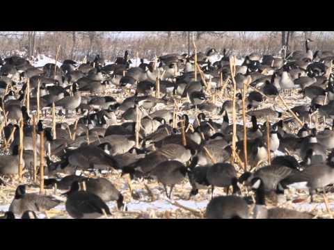 Canada geese feeding in a field