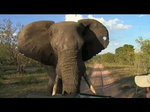 Djuma Game Reserve: Scott's and David's Scary Elephant Encounter March 02, 2016