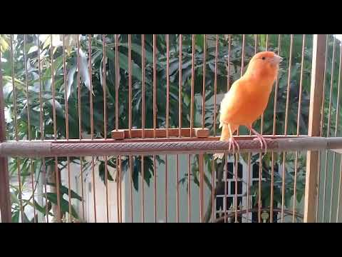 Video Burung Kenari Merah Lokal Gacor Durasi Panjang Youtube