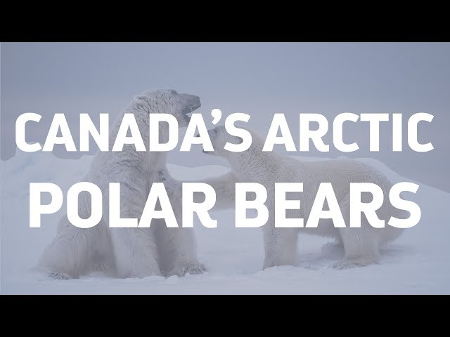 Polar Bears of the Canadian Arctic