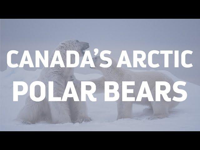 Polar Bears of the Canadian Arctic