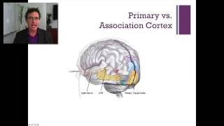 Lecture 4   The Occipital Lobe