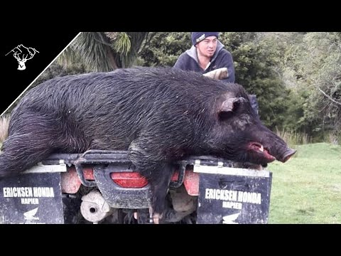 162Lb BOAR! Pig Hunting NZ Labour Weekend 2019