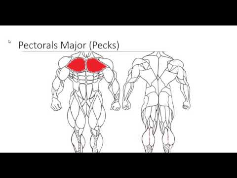 Major Muscle Groups pt 1