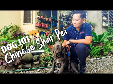 CHINESE SHARPEI  DOG 101