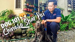 CHINESE SHARPEI  DOG 101