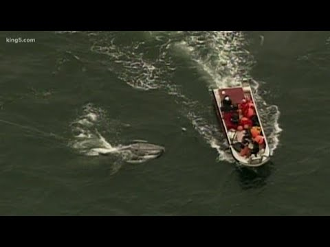 Makah Tribe's Quest To Hunt Another Gray Whale Goes To Court