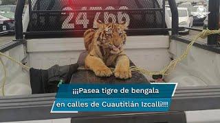 Elementos de Seguridad Pública municipal capturaron al tigre sobre la calle Bosque de Chopo en la colonia Lomas del Bosque