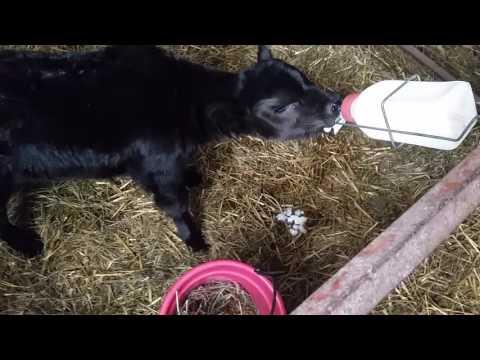 Orphan Calf Update