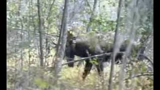 Охота на лося с луком Hoyt