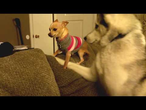 Husky wants to play with a chihuahua