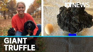 Trainee sniffer dog finds Tasmanian farm's biggest truffle on record | ABC News