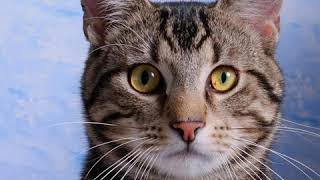 American Wirehair  Cat Breed  Pet Friend