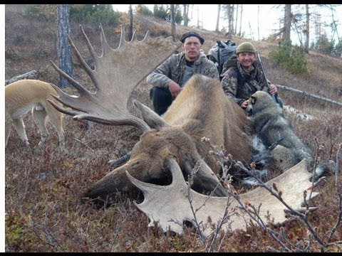 GIANT MOOSE (élan Géant) And SNOW SHEEP Hunting (Chasse) In Far East Russia (KAMCHATKA - TCHUKOTKA).