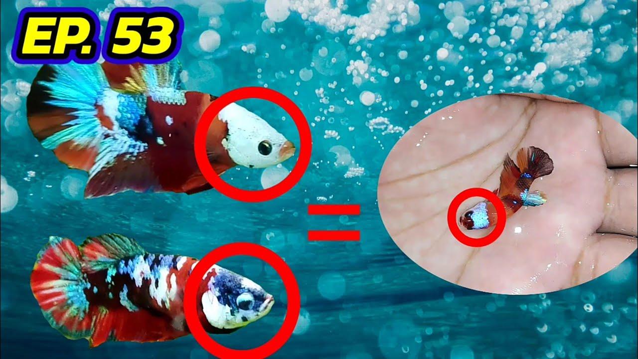 EP.53 Betta Mask หน้ากากของปลากัด ส่งผลต่อรุ่นลูกหรือไม่ ?