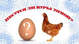 Несутся ли куры зимой?(У меня куры кросс Ломан Браун 4 шт. Возраст 4,5 - 5 месяцев. До холодов несли каждый день четыре яйца, с резким..., 2016-12-02T05:46:20.000Z)