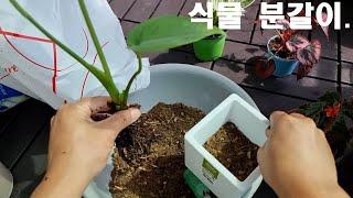 몬스테라 외 식물 분갈…