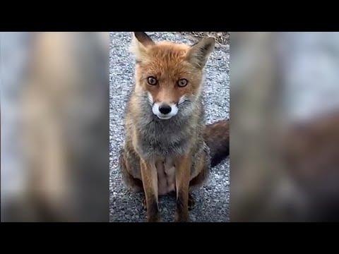 Monti Sibillini, la chiacchierata surreale con una volpe: 'Sei ferita?'