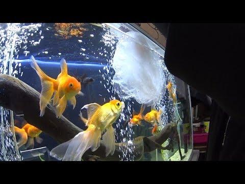 Como Reproducir Peces Goldfish  O Japoneses (Mario Blogs)