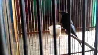 Suara burung masteran untuk semua jenis kicau