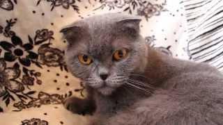 Дыхание кошки (свист и хрип).