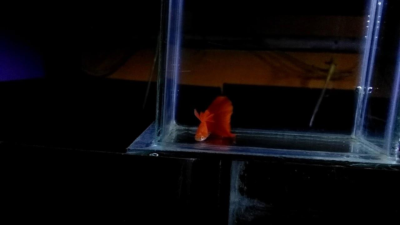 GUPPY HOT (ALBINO FULL RED BIG DORSAL) INDONESIA PUNYA ...