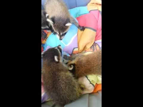 Left behind babies in our shed.3 years ago/ bottle fed!!!,
