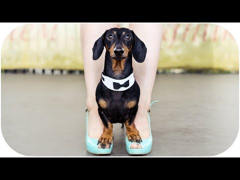 Dachshund dog hot dance