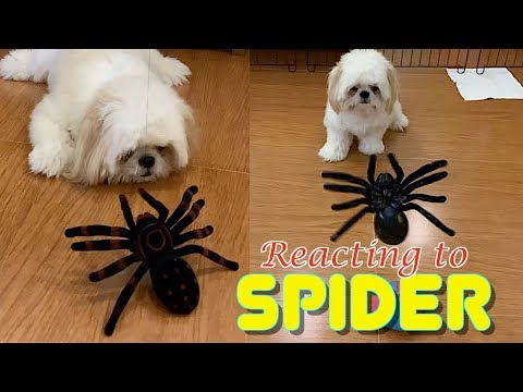 Shih Tzu Reacts to A Giant Spider Toy ( Cute Funny Dog Video)