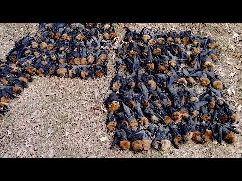 Australia heatwave kills hundreds of flying foxes, hurting wildlife
