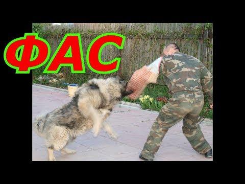 Супер Бойцовой собаке Кавказская овчарка убила медведя 5 мифов о собаках