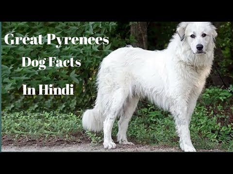 Great Pyrenees Dog Facts In Hindi