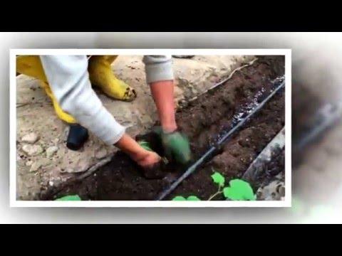 видео: Выращивание огурцов в теплице_2