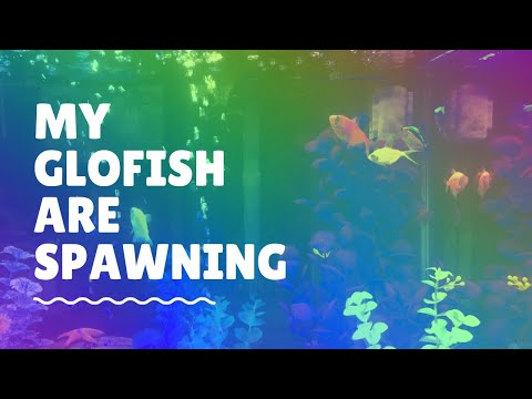 My Glofish Are Spawning!