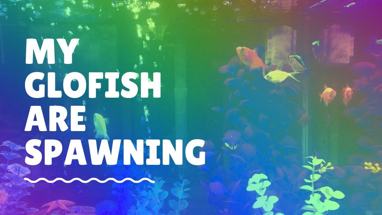 My Glofish Are Spawning! - YouTube
