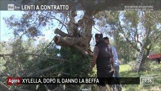 Xylella, dopo il danno la beffa - Agorà 17/05/2018