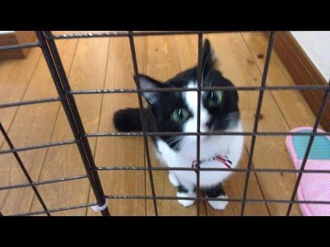 置いてかれたと怒って出迎える猫