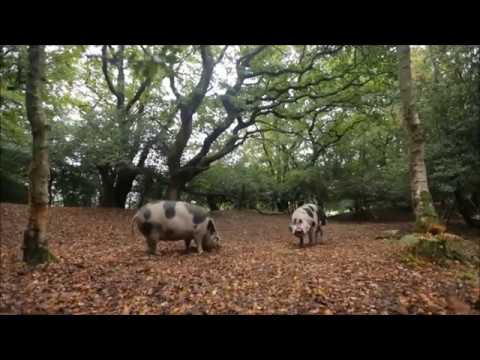 Pigs on pannage in the New Forest