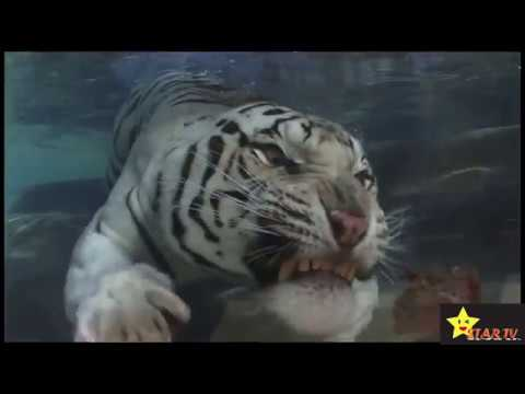 Big Cats Swimming Underwater